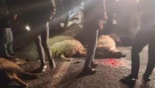 Şanlıurfa'da kamyonet koyun sürüsüne daldı: 21 koyun telef oldu