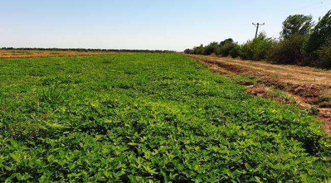 """Urfa'da """"Ayşehanım"""" yer fıstığı çeşidinde hasat zamanı"""