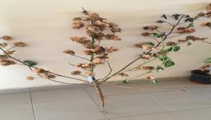 Urfa'da beyaz pamuğun alternatifi doğal renkli pamuk